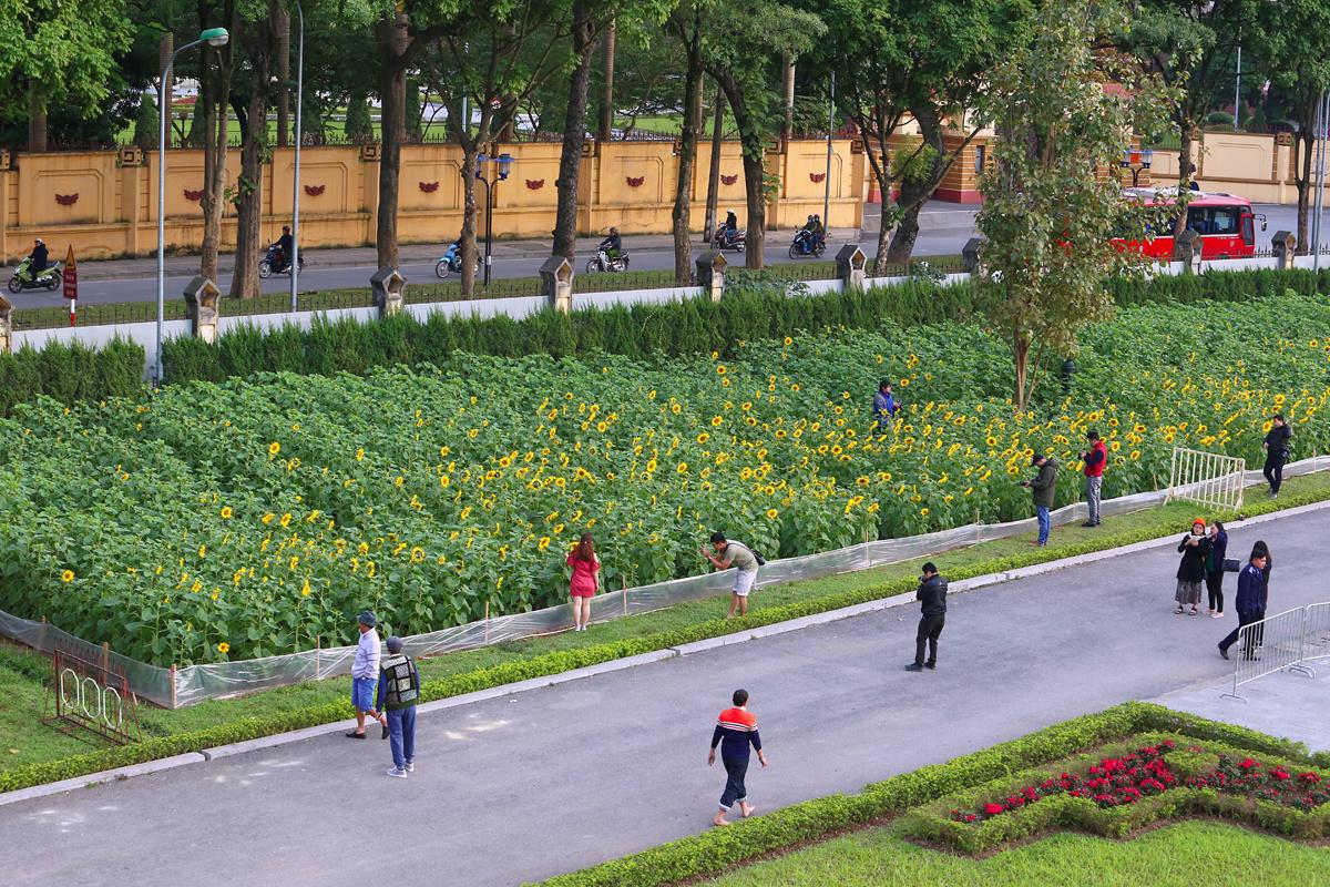 Sau hơn 2 tháng trồng và chăm sóc, vườn hoa hướng dương hơn 2.000 m2 trong khuôn viên Khu di tích Hoàng Thành Thăng Long đã bung nở vào những ngày Hà Nội hửng nắng đông.