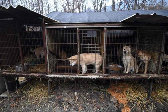 Một trang trại nuôi và giết chó lấy thịt tại Hàn Quốc. Ảnh: AFP